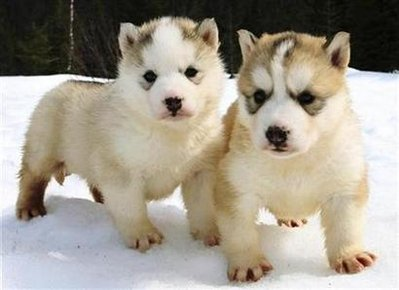 cute baby huskies - group picture, image by tag - keywordpictures.com